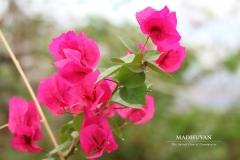 Vrindavan flowers